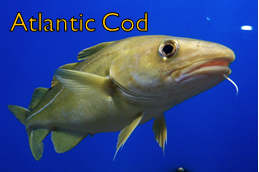 File:Cod.png