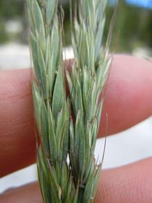 File:220px-Elymus glaucus.jpg