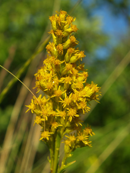 File:Showy-Goldenrod.jpg