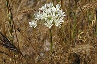 Allium amplectens Pinnacles2.jpg