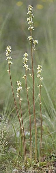 File:M integrifolia Rod Gilbert.jpg